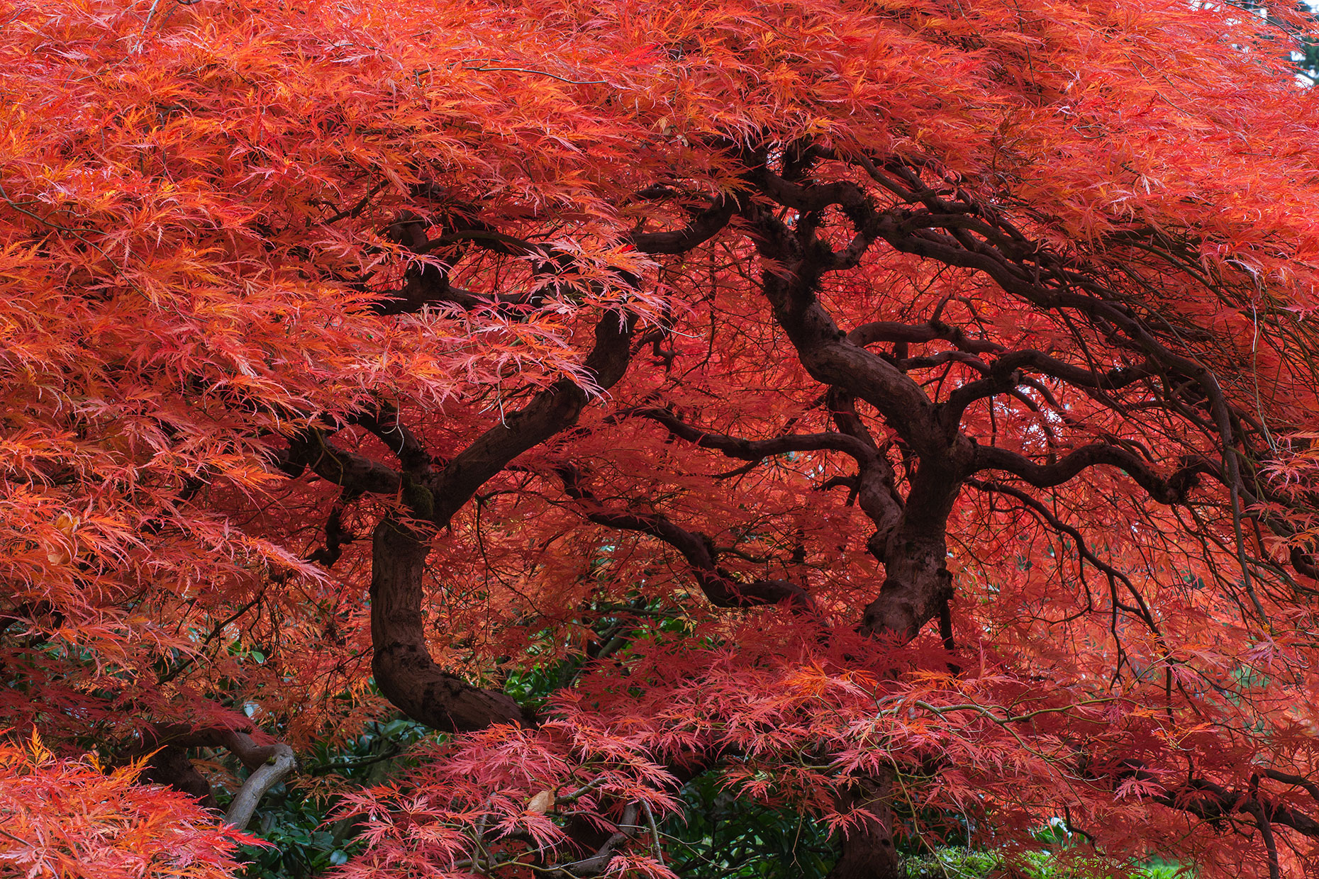 Maple-Tree-Splendor